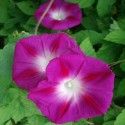 Ipomoea purpurea GLOIRE DU MATIN IPOMÉE POURPRE (25 graines)