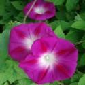 Ipomoea purpurea MORNING GLORY (25 seeds)