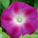Ipomoea purpurea PRUNKWINDEN (pflanze)