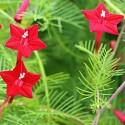 Ipomoea quamoclit CYPRESS VINE (10 seeds)