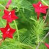 cypress-vine-seeds