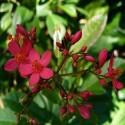 Jatropha curcas JATROFA / PINON DE TEMPATE (5 semillas)