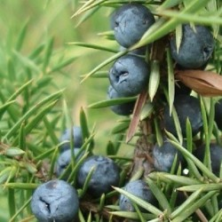 Juniperus communis COMMON JUNIPER (10 seeds)
