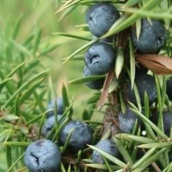 Juniperus communis GENIÈVRE / GENÉVRIER (10 graines)
