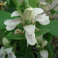 Justicia adhatoda INDISCHES LUNGENKRAUT (pflanze)