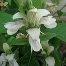 Justicia adhatoda MALABAR NUT (plant)