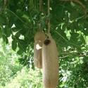 Kigelia africana ARBRE À SAUCISSES / SAUCISSONNIER (5 graines)