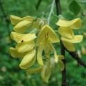 Laburnum Watereri GOLDEN RAIN TREE (15 seeds)