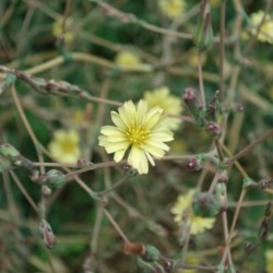 Lactuca virosa LECHUGA SILVESTRE (20 semillas)