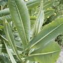 Lactuca virosa GIFT-LATTICH (pflanze)