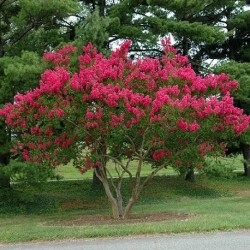 Lagerstroemia indica CRAPE MYRTLE / CREPE FLOWER (10 seeds)