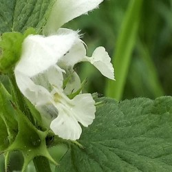 Lamium album WHITE DEAD-NETTLE (20 seeds)