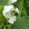 Lamium album WHITE DEAD-NETTLE (20 seeds)