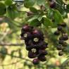 graines-de-liane-noire
