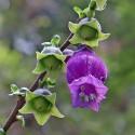 Latua pubiflora ARBOL DE LOS BRUJOS (10 semillas)