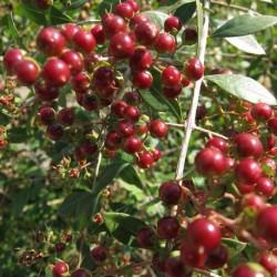 Lawsonia inermis HENNÉ (20 graines)