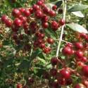 Lawsonia inermis HENNA (20 seeds)