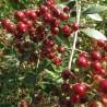 semillas-de-alhena