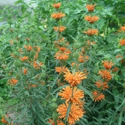 Leonotis leonorus WILD DAGGA / QUEUE DE LION (15 graines)