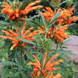 afrikanisches-löwenohr-pflanze