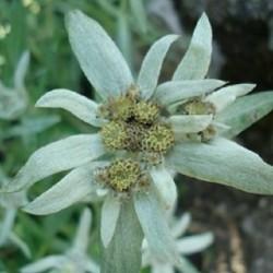Leontopodium alpinum EDELWEISS (25 seeds)