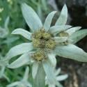 Leontopodium alpinum FLOR DE LAS NIEVES, EDELWEISS (25 semillas)