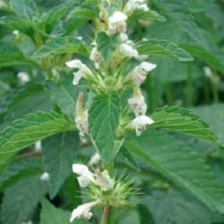 Leonurus cardiaca MOTHERWORT (15 seeds)
