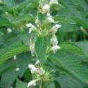 Leonurus cardiaca AGRIPALMA (15 semillas)