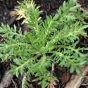 Lepidium meyenii MACA (20 samen)