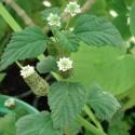 Lippia dulcis HIERBA DULCE (20 semillas)
