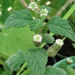 aztekische-susskraut-pflanze