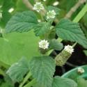 Lippia dulcis AZTEKISCHE SÜSSKRAUT (pflanze)