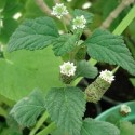 Phyla scaberrima HIERBA DULCE (planta)