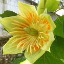 Liriodendron tulipifera TULIPENBAUM (pflanze)