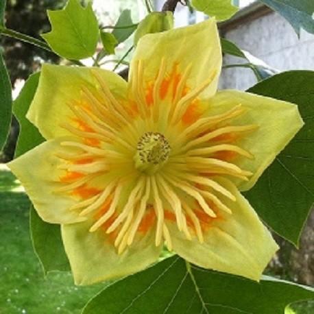 tulipenbaum-samen
