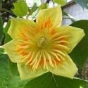 Liriodendron tulipifera TULIPERO / ÁRBOL DE LAS TULIPAS (15 semillas)