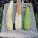 Luffa cylindrica ESPONJA VEGETAL, LUFA (10 semillas)