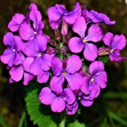 Lunaria annua MONEDAS DEL PAPA (15 semillas)