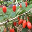 Lycium barbarum WOLFBERRY, GOJI (plant)