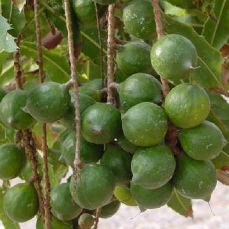 Macadamia-semillas