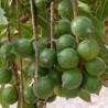 Macadamia-nuss-samen
