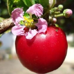 Malpighia glabra ACÉROLA / CERISIER DES BARBADES (3 graines)