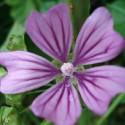 Malva sylvestris MALVA COMÚN (20 semillas)