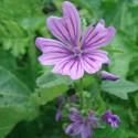 Malva sylvestris MAUVE OFFICINALE (plante)