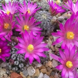 Mammillaria sp yanu piedra PINCUSHION CACTUS (20 seeds)