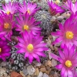 Mammillaria sp yanu piedra (20 semillas)