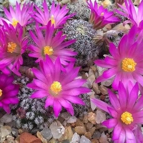Mammillaria-semillas