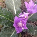 Mandragora officinarum MANDRAKE (10 seeds)