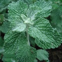 Marrubium vulgare MARRUBE BLANC (20 graines)