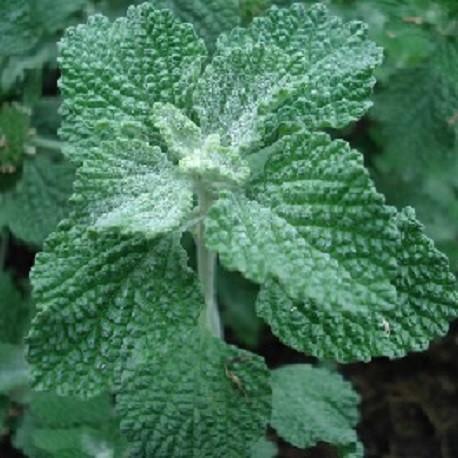 semillas-de-marrubio